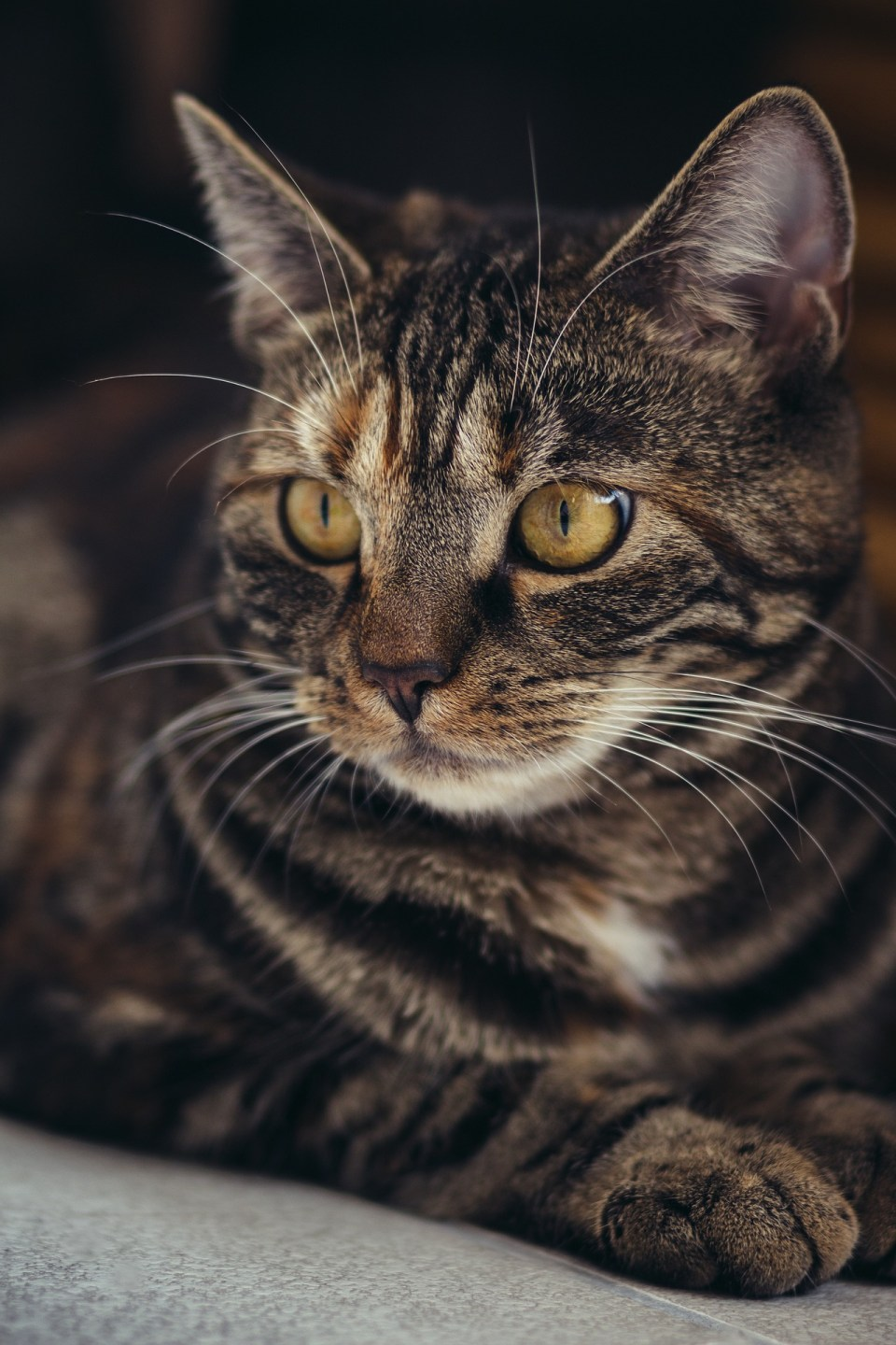 striped cat with yellow eyes looking out into distance