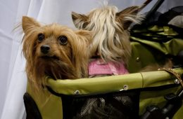 Two small dogs in a carrier.