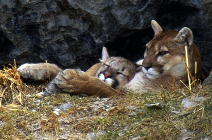 Washington's Governor Nixes Radical Cougar-Killing Plan