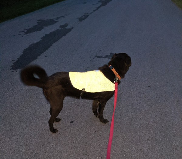 A black dog wearing a bright reflective vest at night