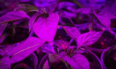 O que as lâmpadas de LED e o cultivo de plantas tem em comum?