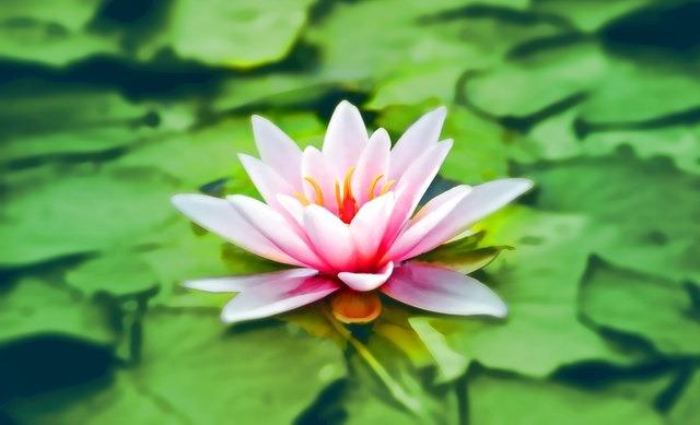 Fotografia de uma flor aquática.
