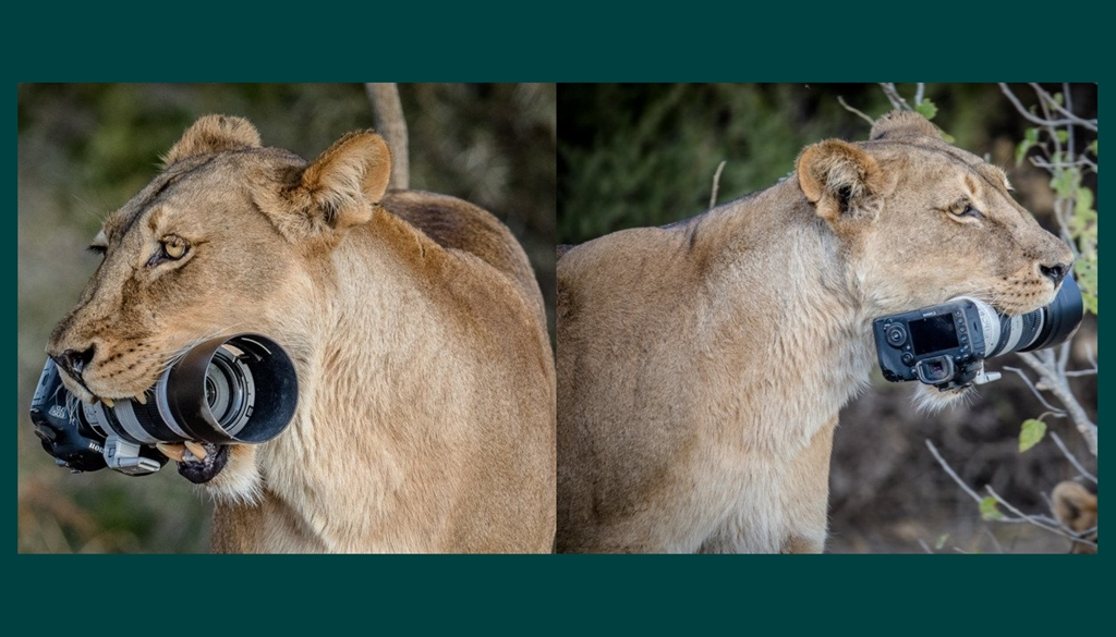 Lioness-Canon-DSLR