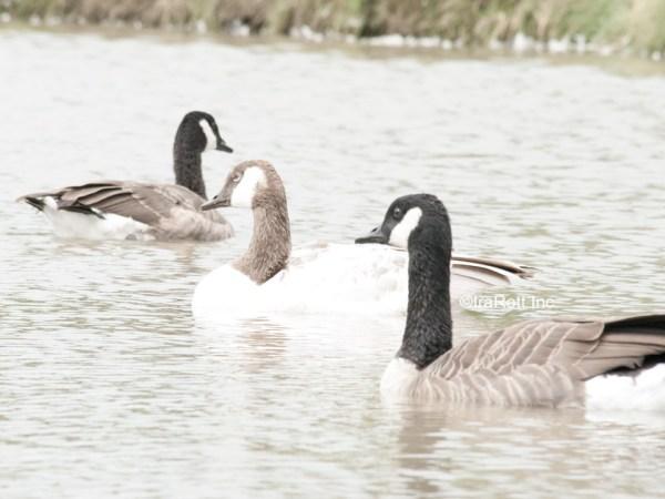 Pale Canada Goose 4
