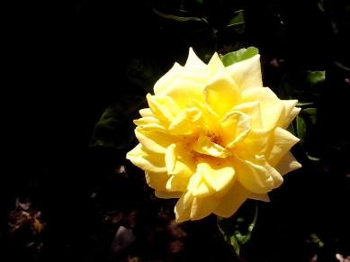 Close up on a gorgeous yellow rose in full bloom.