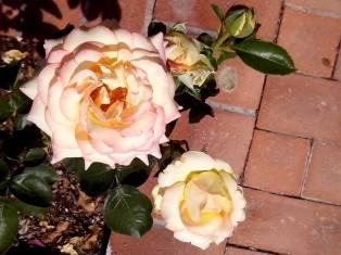 More pretty roses.