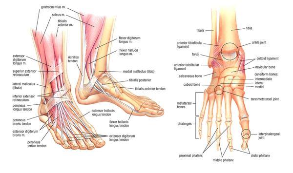 Anatomie Pied les pieds: anatomie et évolution avec le temps