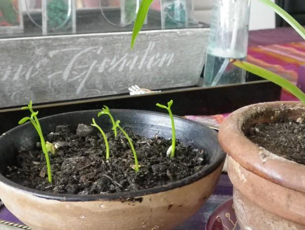 faire pousser pépin clémentine