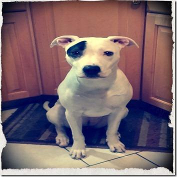 Bella the pitbull - galaxy-note-3-jrpny