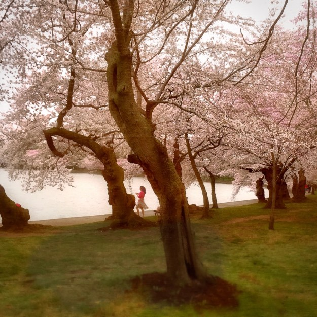 Japanese Cherry Blossom Trees