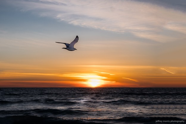 Seabird at Sunset 1
