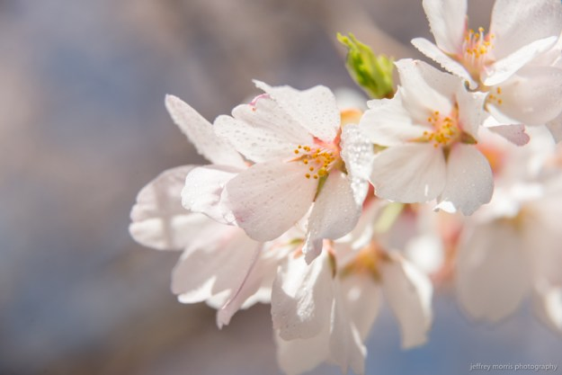Japanese cherry blossoms up close... really close