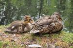 Big Ducklings
