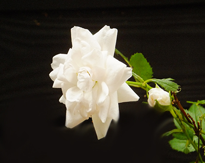 A Might-As-Well-Be-White Rose