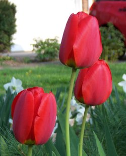 Red tulips in my front yard