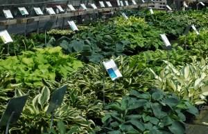 Hosta greenhouse