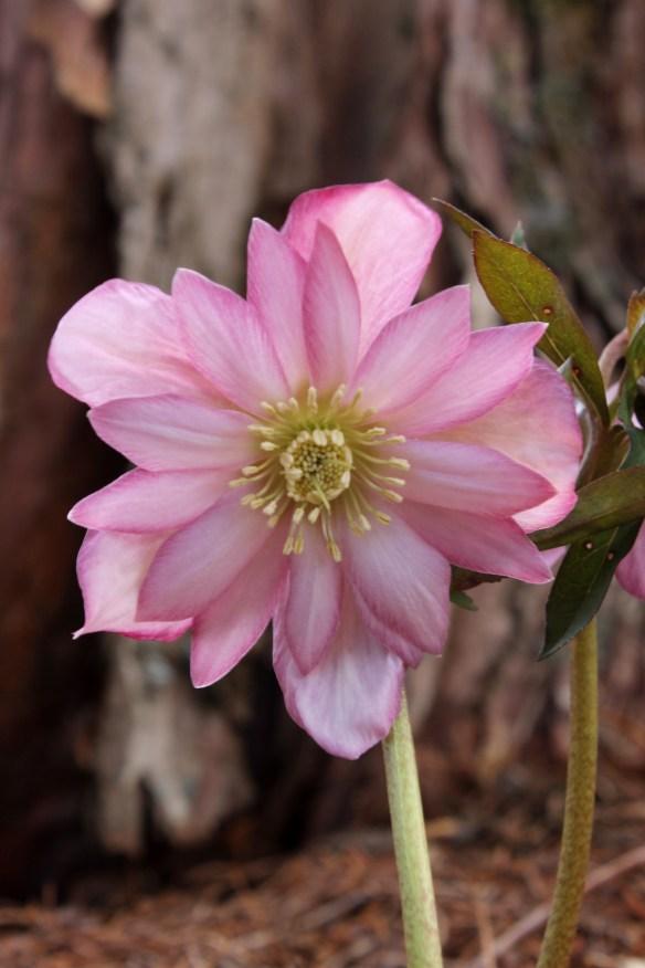 Helleborus x hybridus PDN428 Cotton Candy