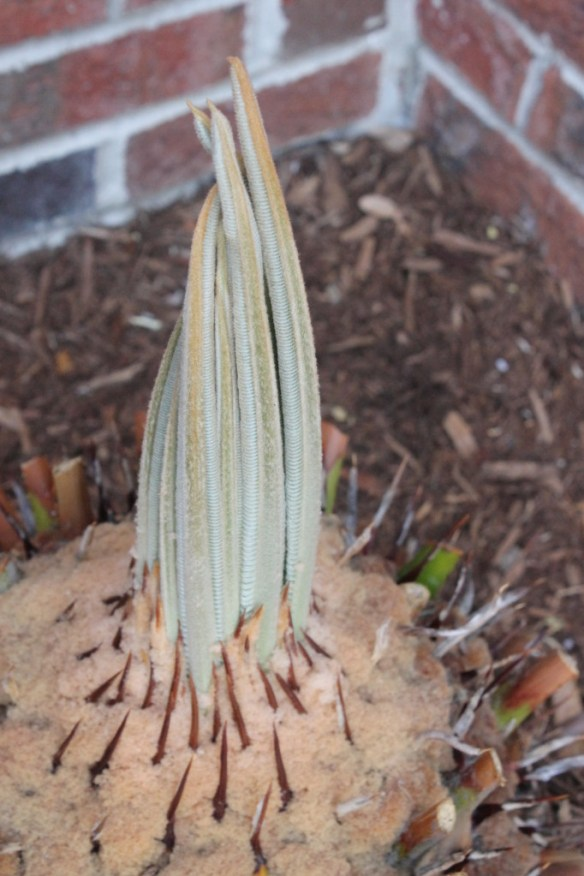 Cycas taitungensis re-emerging