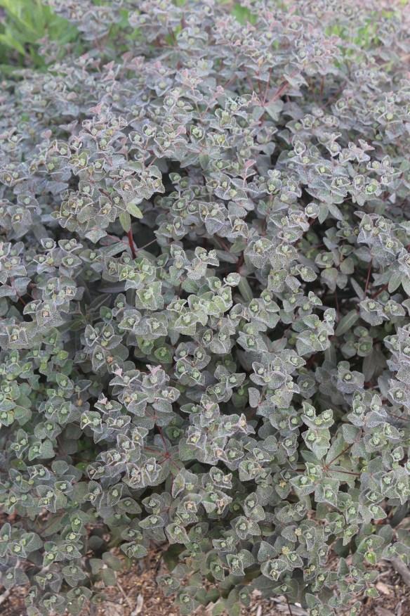 Euphorbia x martinii Cherokee in flower