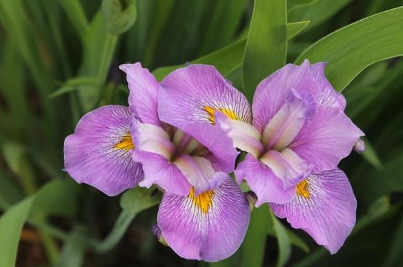 Iris virginica Contraband Girl flower3