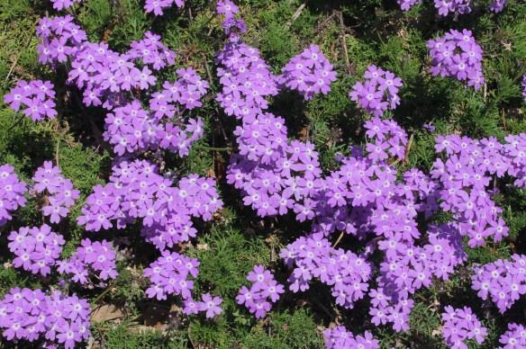 Verbena sp. Lavender Frappe12