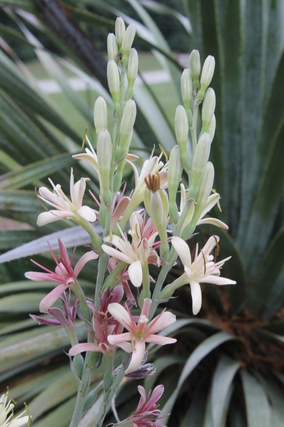 Manfreda maculosa Karnes Co. TX flowers