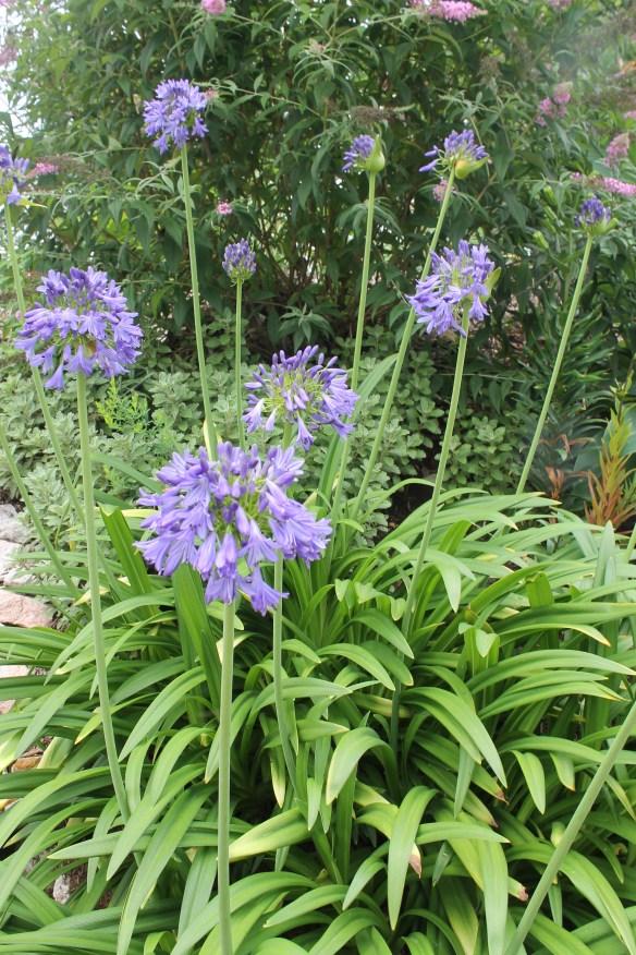 Agapanthus Ellamae clump in flower