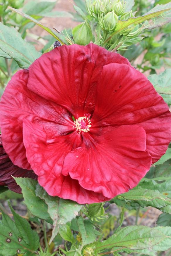 Hibiscus Cranberry Crush4