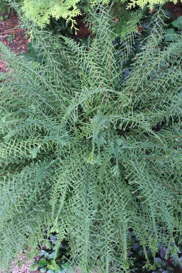 Athyrium filix-femina Victoriae2 in Cincinatti