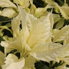 Aucuba japonica 'Natsu-no-Kumo' PP# 14,744