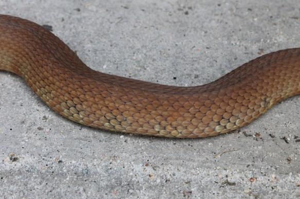Red-bellied watersnake in garage4