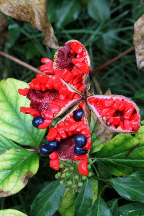 Paeonia obovata seed pods3