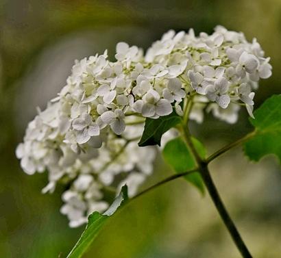 Hydrangea macrophylla 'Yofloma'