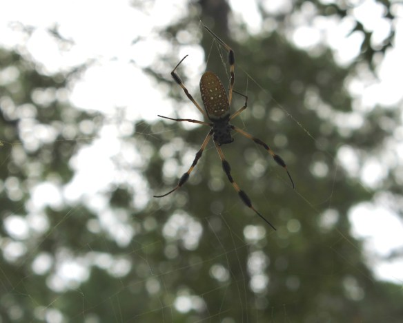Giant spider in Croatan NF