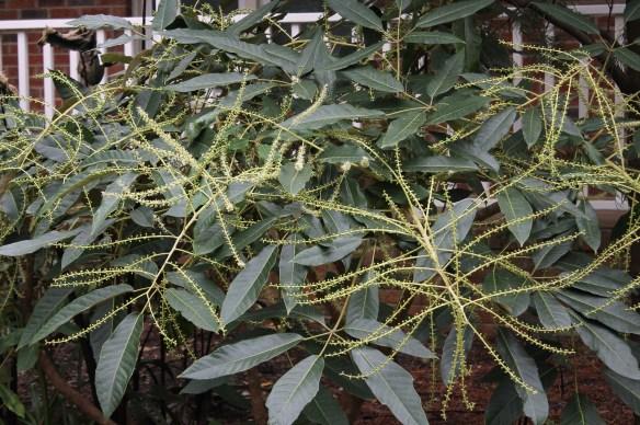 Schefflera delavayi in flower5