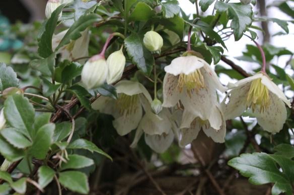 Clematis cirrhosa in flower5