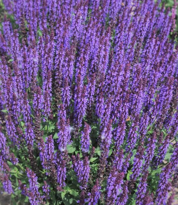 Salvia x sylvestris Violet Riot at Walters2 (63943).cc