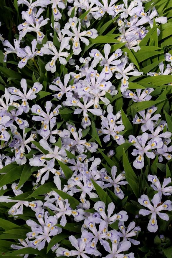 Iris cristata Powder Blue Giant