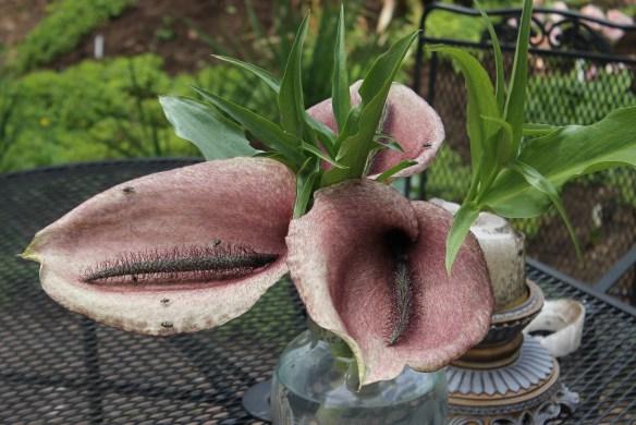 Helicodiceros muscivorus arrangement