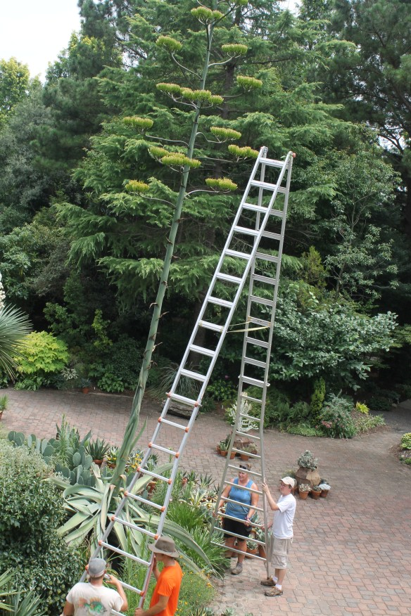 Agave Grey Gator flowering with ladder and staff4