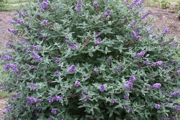 Buddleia Blue Heaven clump in flower