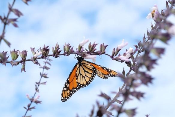 Monarch on Salvia Phyllis Fancy2