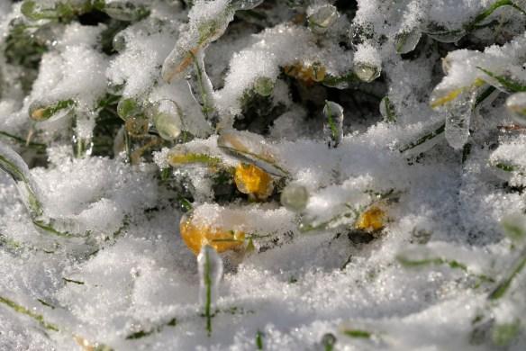 Nothoscordum sellowianum buds under ice