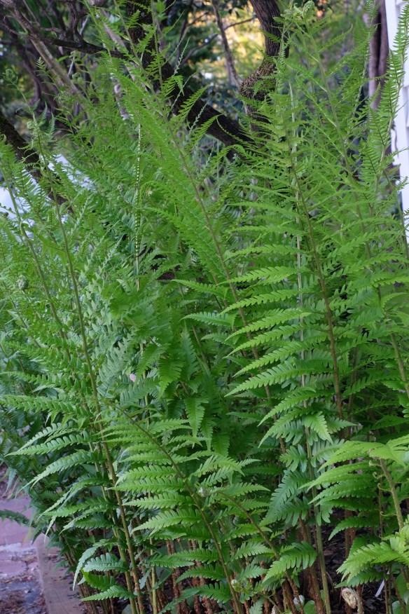 Dryopteris x australis3