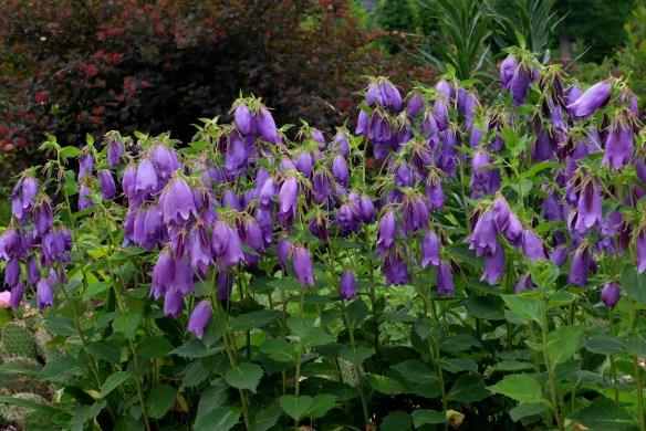 Campanula-Sarastro-mass-in-flower