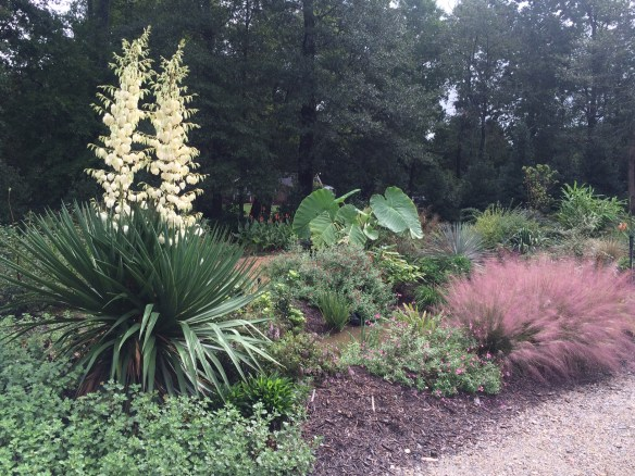 picture from the garden today - Yucca, Colocasia, Muhlenbergia