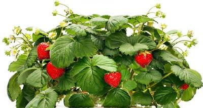 Easy Hydroponic Strawberries