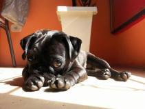 244537071-pug-cachorro-cao-facebook