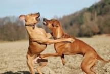 2235012902-caes-brigando-pet-na-pan-cachorros