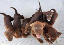 4109297932-cachorro-cao-labrador-filhote-gerj
